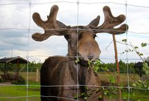 Moose / Moose glorious moose! I loved seeing the moose in Sweden... I also saw some in Alaska, but they were faraway...