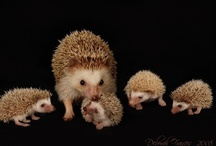 Hedgehogs & Field Mice