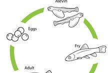 life cycle-fish