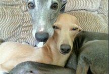 Greyhound, Italian Greyhound, Whippet, Saluki, Borzoi