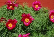 Piha ja Puutarha – Our Garden / taloahonlaidalla.blogspot.fi Perinnekukkia, -pensaita ja -puita. Traditional flowers, bushes and trees.
