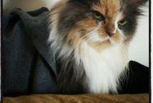 Kedi Lobisi / Kedi lobisi kırdı geçirdi