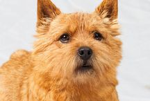 Norwich Terrier / Spirited and stocky with prick ears and a slightly foxy expression, the Norwich Terrier is one of the smallest working terriers. Despite his small size, the Norwich has good substance and is an eager worker. The breed's wiry, weather resistant coat can be red, wheaten, black and tan or grizzle.