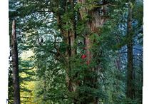 Protecting/ Restoring Redwoods / Help us protect these magnificent giants!