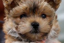 Yorkie Pups