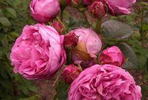 Růže - výběr :-)
