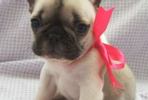 Pied French Bulldogs / Beautiful Pied French Bulldogs and puppies style trends and cute photos