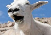 Goats.  / by Linz Larae