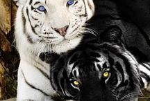 Ζώα-τίγρης-λεοπάρδαλη-λύνγκας