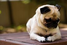 I Love Pugs / by A. Martin