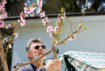 Pruning peach tree