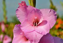 Gladiolus sabellilja