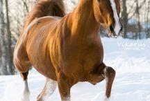 Mine drømme heste