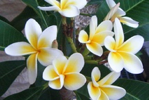 For the love of frangipani!