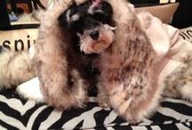 Schnauzers ❤ / This is Bella Mia Principessa.  My 10.5 pd mini schnauzer.  She is now 7