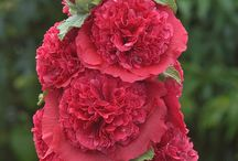 Alcea rosea -  commonly known as Hollyhocks