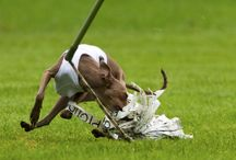 Italian greyhound sport / My racing dogs