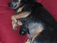 Kelpie and Cattle dogs / A page of Kelpies and Cattle dogs on their Barka Parka pet bean beds