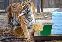 Holiday Fun! / Fun holiday enrichment / by Crown Ridge Tiger Sanctuary