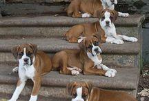 Baby boxer dog