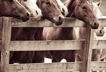 Caballos / Amo a los caballos