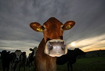 Dairy Life / Cows, dairy, dairy life, milk / by Fatima Bettencourt