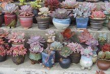 suculents&cactus