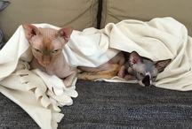 My Love Cats Sphynx :-) Buba and Yogi