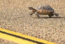 Sulcata's Tortoises