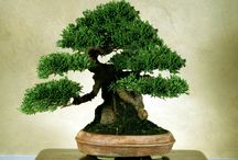 Bonsai - Hachi-Uye and Imperial Size