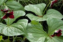 Les plantes d.ombre / Hortensia