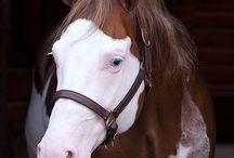 Лошадь с сорочьями глазами