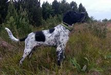 My Dog - Chuck - Large Münsterlander