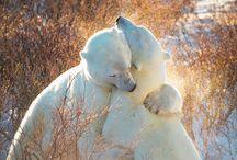jegesmedvék