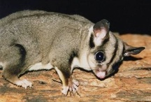 Sugar gliders / Of course after I fall in love with sugar gliders, I find out they're  illegal in WA!