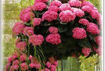 Pink Hidrangeas