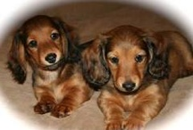 Dachshund  (DOXIE LUV ) / by Virginia Changetheworld