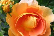 my roses... / by Kim Samsel