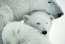 Ayılar/bears