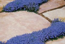 planting ideas: pathways with groundcover (gathered by classicnursery.com)