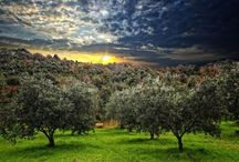 Uliveti - Olive Grove / Galleria Immagini Uliveti - Olive Grove Gallery Images