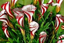 piante rapella