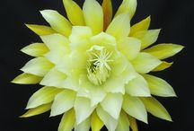 cactus epifitos