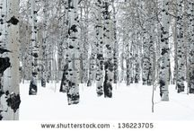 Aspen Tree Reference / Aspen tree reference for my mixed media paintings, aspen tree paintings, and mixed media aspen trees