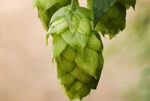 Cascade Hops and anything Hops!