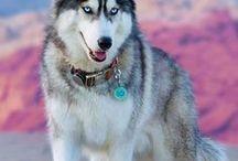 Siberian ♥ Alaskan