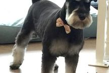 Schnauzer dogs / Dog related