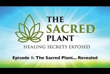 "Medical uses for the ""Sacred Plant"""