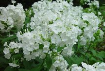"""Summer Phlox / Companion to the """"Summer Phlox"""" article in our magazine, the American Gardener, May/June 2017 issue http://www.ahsgardening.org/gardening-resources/gardening-publications/the-american-gardener/may-june-2017."""