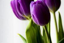 Tulip - Lale (Lale Aşktır sevene) / Gül Peygambere (sav) Lale Allah'a açılır...